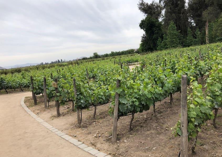 Parreiras em sistema de espaldeira na vinícola Concha y Toro