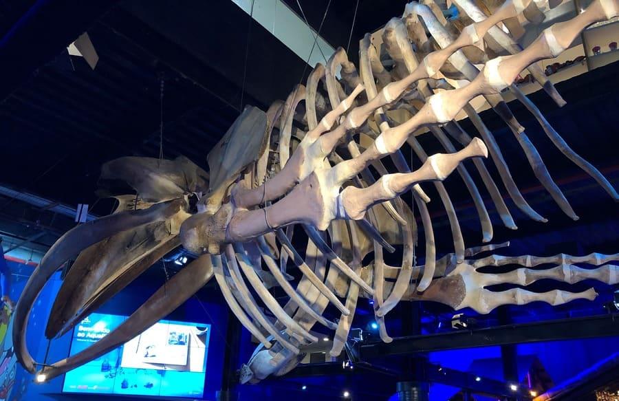 como visitar o aquario: ossada de baleia jubarte na entrada